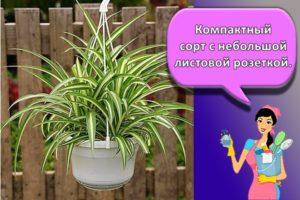 Как правильно ухаживать за хлорофитумом в домашних условиях, особенности выращивания цветка