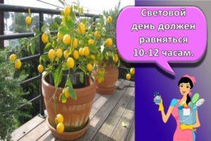 Правила посадки и ухода за лимоном сорта Мейера в домашних условиях, секреты выращивания