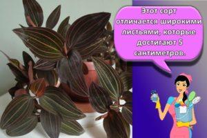 Описание драгоценной орхидеи Лудизии, правила посадки и ухода в домашних условиях