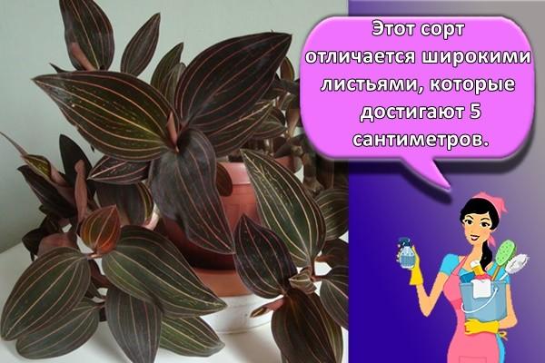 Этот сорт отличается широкими листьями, которые достигают 5 сантиметров.