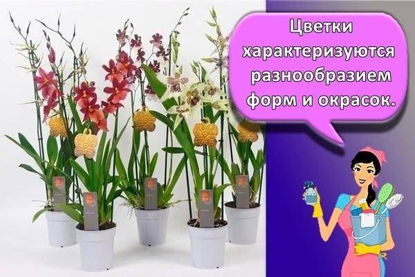 Цветки характеризуются разнообразием форм и окрасок.