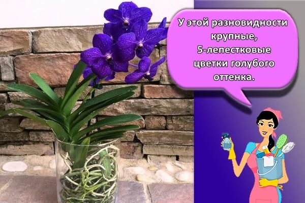 У этой разновидности крупные, 5-лепестковые цветки голубого оттенка.
