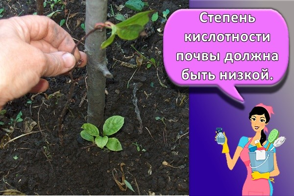 Степень кислотности почвы должна быть низкой.