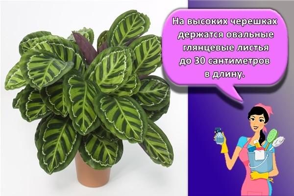 На высоких черешках держатся овальные глянцевые листья до 30 сантиметров в длину.