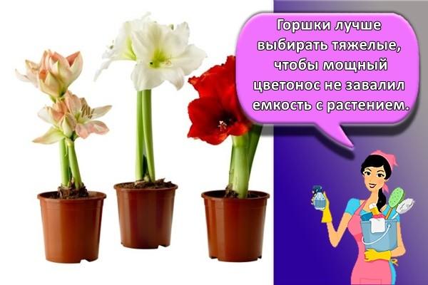 Горшки лучше выбирать тяжелые, чтобы мощный цветонос не завалил емкость с растением.