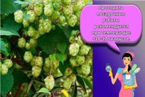 Правила выращивания хмеля, особенности посадки и ухода