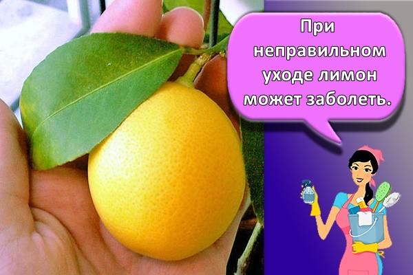 При неправильном уходе лимон может заболеть.