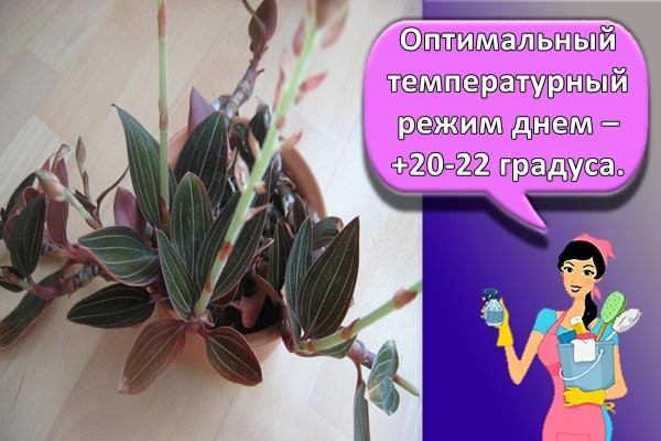 Оптимальный температурный режим днем – +20-22 градуса.
