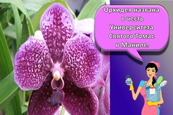 Орхидея названа в честь Университета Святого Томаса в Маниле.