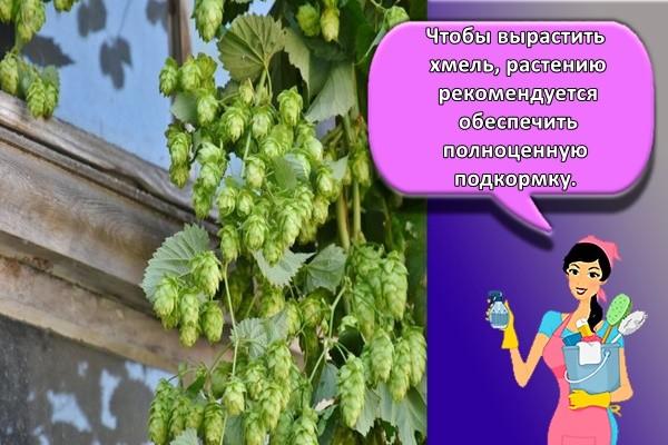 Чтобы вырастить хмель, растению рекомендуется обеспечить полноценную подкормку.