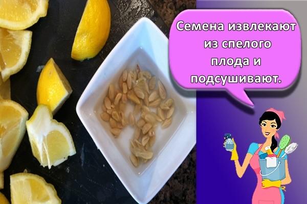 Семена извлекают из спелого плода и подсушивают.