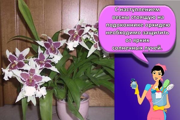 С наступлением весны стоящую на подоконнике орхидею необходимо защитить от ярких солнечных лучей.