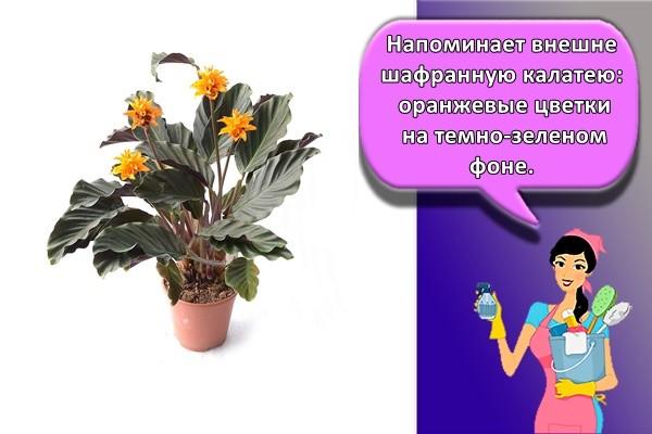 Напоминает внешне шафранную калатею: оранжевые цветки на темно-зеленом фоне.