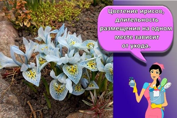 Цветение ирисов, длительность размещения на одном месте зависит от ухода.