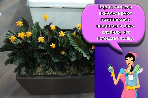 Корни калатеи аккумулируют питательные вещества и воду клубнях, что истощает почву.