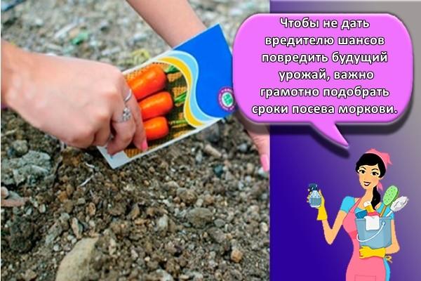 Чтобы не дать вредителю шансов повредить будущий урожай, важно грамотно подобрать сроки посева моркови.
