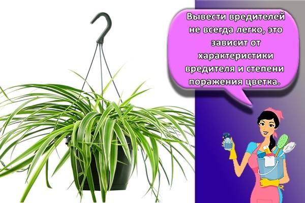Вывести вредителей не всегда легко, это зависит от характеристики вредителя и степени поражения цветка.