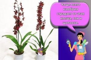 Правила ухода за орхидеей камбрия в домашних условиях, описание вида и нюансы выращивания