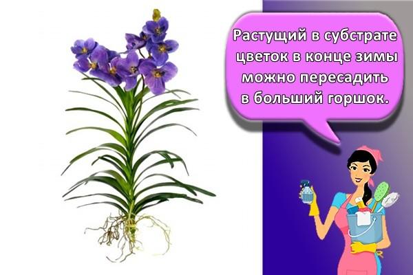 Растущий в субстрате цветок в конце зимы можно пересадить в больший горшок.