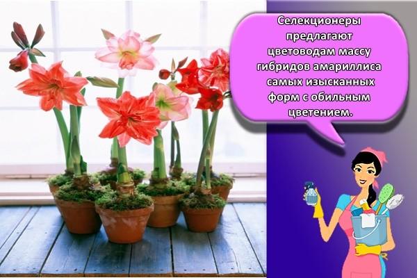 Селекционеры предлагают цветоводам массу гибридов амариллиса самых изысканных форм с обильным цветением.
