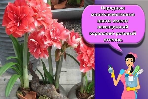 Нарядные многолепестковые цветы имеют насыщенный кораллово-розовый оттенок.