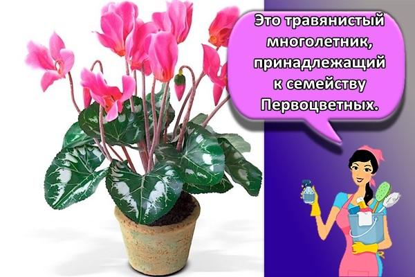 Это травянистый многолетник, принадлежащий к семейству Первоцветных.
