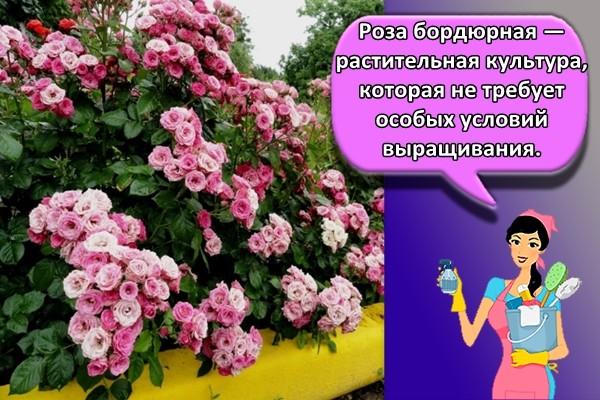 Роза бордюрная — растительная культура, которая не требует особых условий выращивания.
