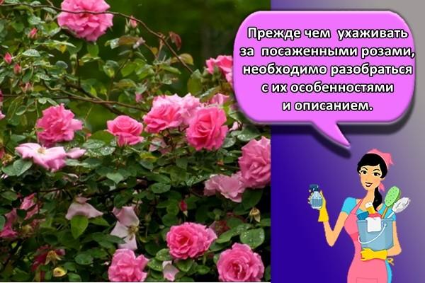 Прежде чем ухаживать за посаженными розами, необходимо разобраться с их особенностями и описанием.