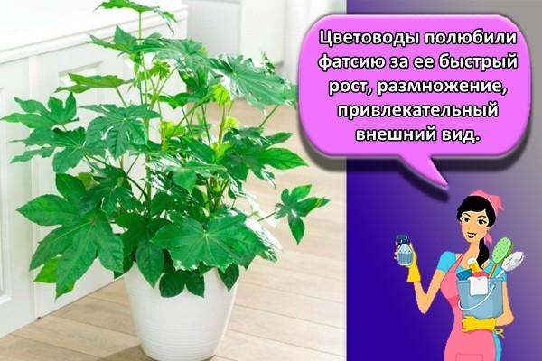 Цветоводы полюбили фатсию за ее быстрый рост, размножение, привлекательный внешний вид.