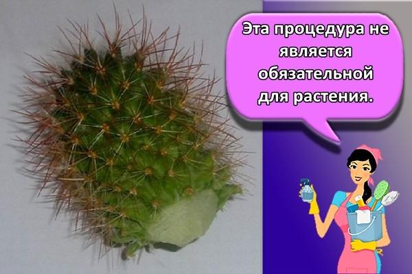 Эта процедура не является обязательной для растения.