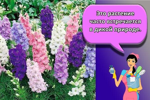 Это растение часто встречается в дикой природе.