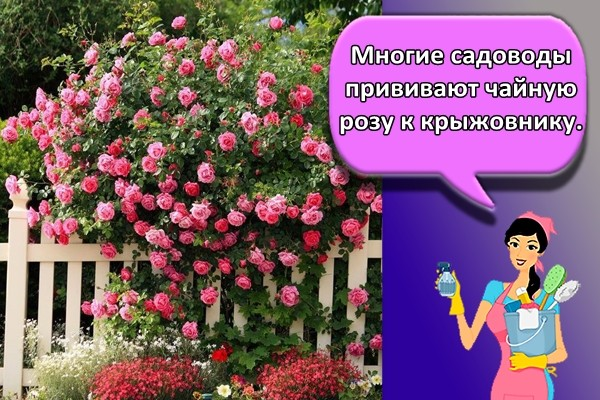 Многие садоводы прививают чайную розу к крыжовнику.
