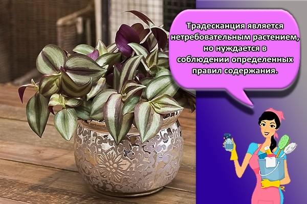 Традесканция хоть и является нетребовательным растением, но нуждается в соблюдении определенных правил содержания.
