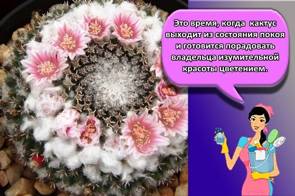 Это время, когда кактус выходит из состояния покоя и готовится порадовать владельца изумительной красоты цветением.