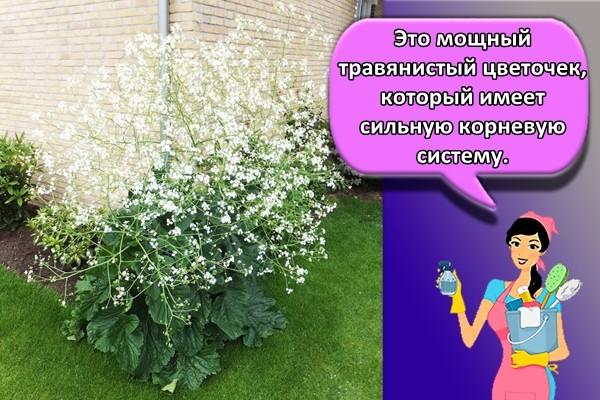 Это мощный травянистый цветочек, который имеет сильную корневую систему.