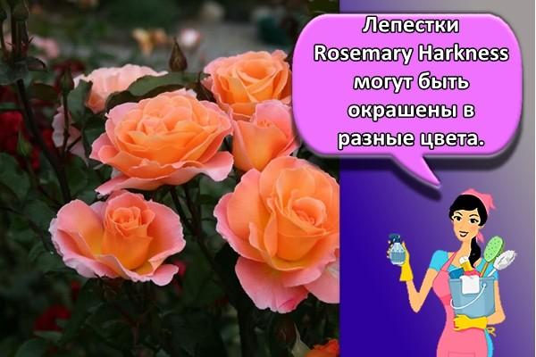 Лепестки Rosemary Harkness могут быть окрашены в разные цвета.