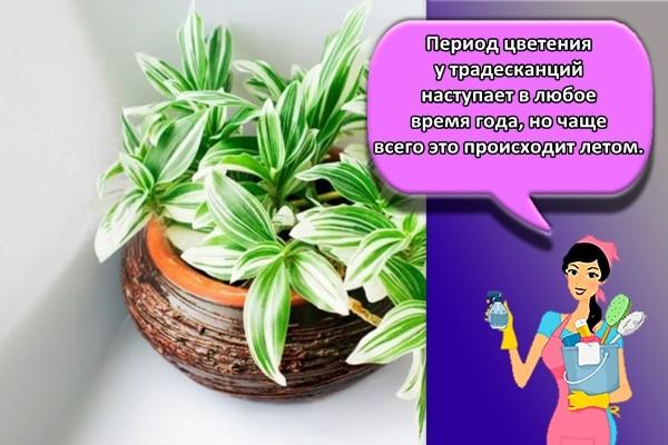 Период цветения у традесканций наступает в любое время года, но чаще всего это происходит летом.