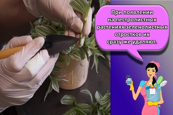 При появлении на пестролистных растениях зеленолистных отростков их сразу же удаляют.