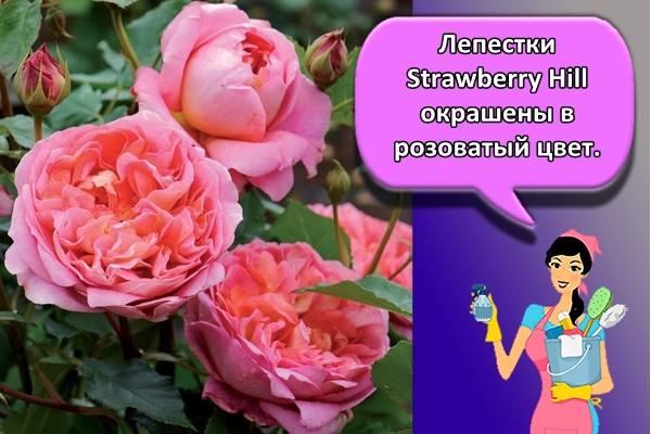 Лепестки Strawberry Hill окрашены в розоватый цвет.