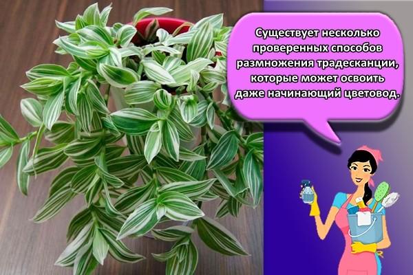 Существует несколько проверенных способов размножения традесканции, которые может освоить даже начинающий цветовод.