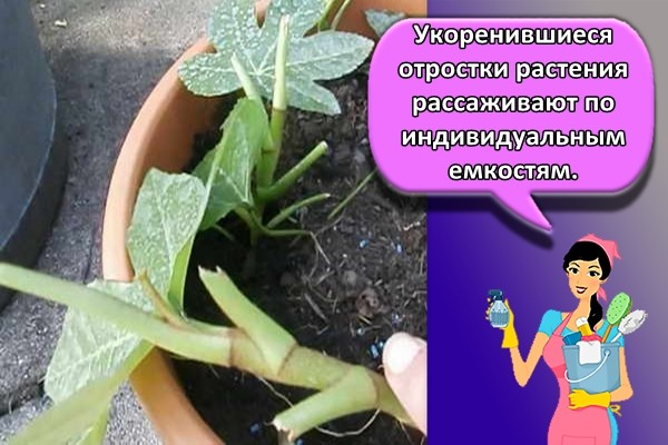 Укоренившиеся отростки растения рассаживают по индивидуальным емкостям.