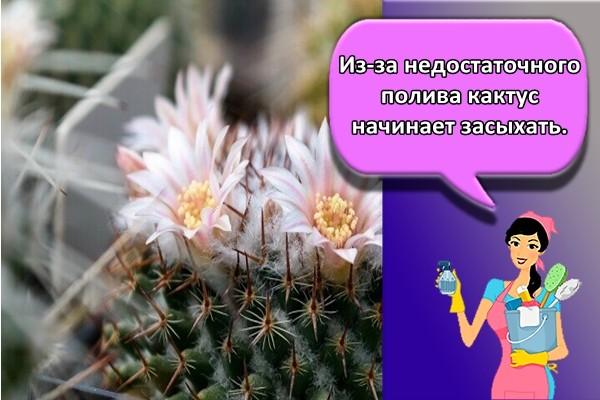Из-за недостаточного полива кактус начинает засыхать.