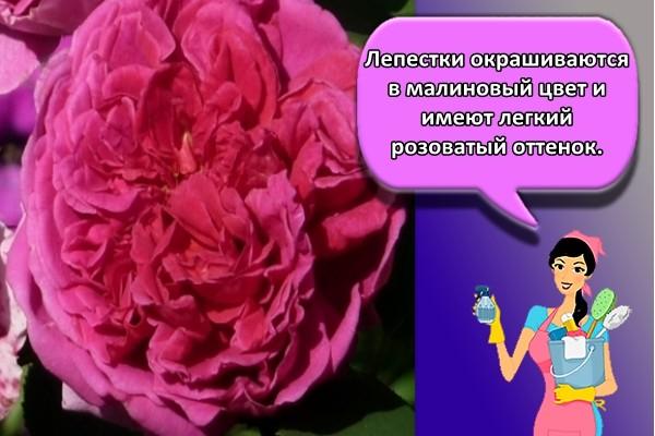 Лепестки окрашиваются в малиновый цвет и имеют легкий розоватый оттенок.