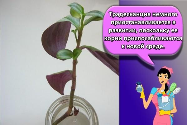 Традесканция немного приостанавливается в развитии, поскольку ее корни приспосабливаются к новой среде.