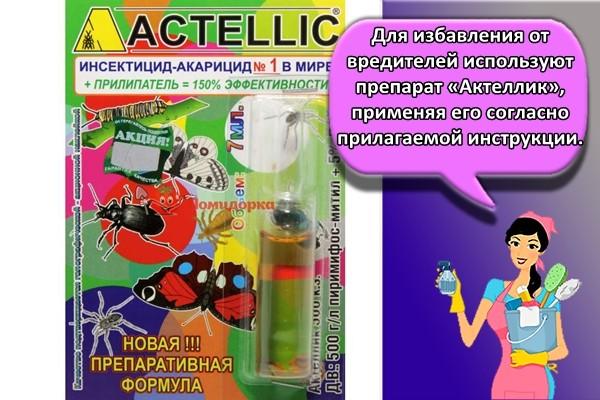 Для избавления от вредителей используют препарат «Актеллик», применяя его согласно прилагаемой инструкции.