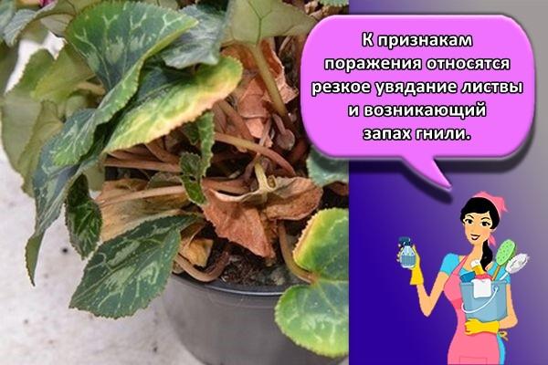 К признакам поражения относятся резкое увядание листвы и возникающий запах гнили.