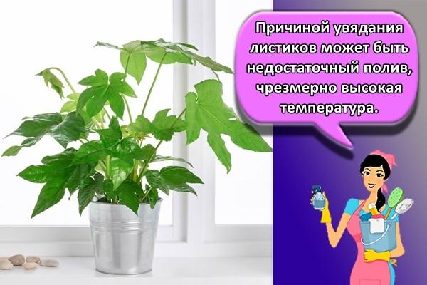 Причиной увядания листиков может быть недостаточный полив, чрезмерно высокая температура.