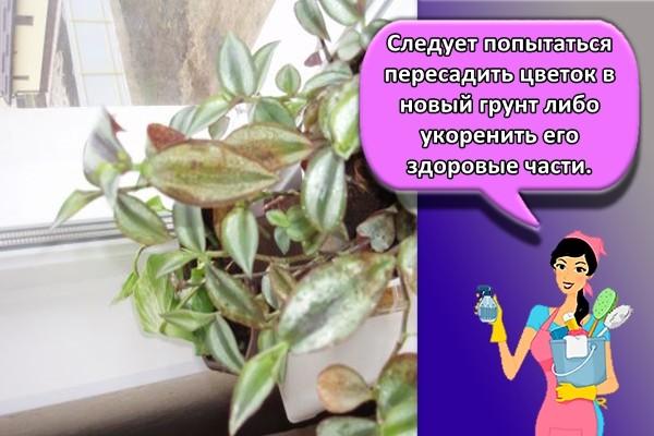 Следует попытаться пересадить цветок в новый грунт либо укоренить его здоровые части.