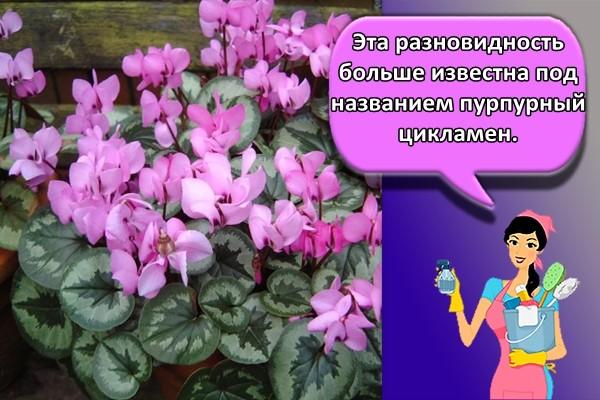 Эта разновидность больше известна под названием пурпурный цикламен.
