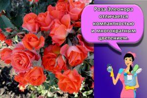 Выращивание и уход за бордюрными розами в открытом грунте, лучшие сорта